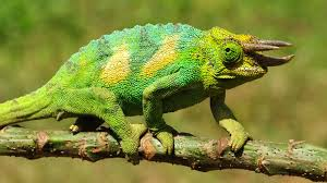 A three horned chameleone-North Rwenzori Central Forest Reserve