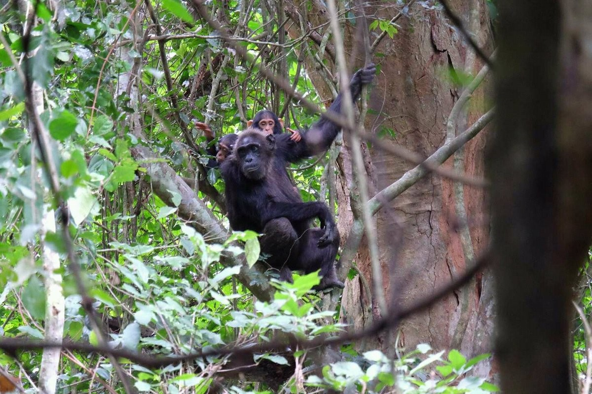 A twin mother and twin Chimpanzees in Bundongo Central Forest Reserve