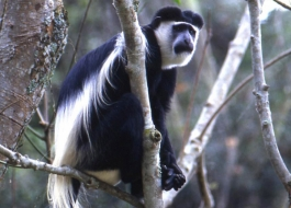 black and white colobus monkey- Kalinzu Central Forest Reserve